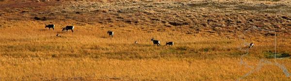 Denali National Park. Mt. McKinley. Caribou