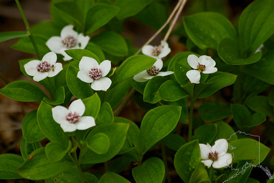 Bunchberry Wildflowers