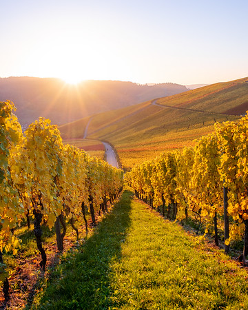Vineyards in fall colors at sunset