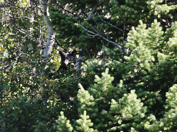 Alberta Bear Encounter