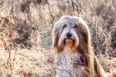 Fizz, Bearded Collie, Calgary, Alberta