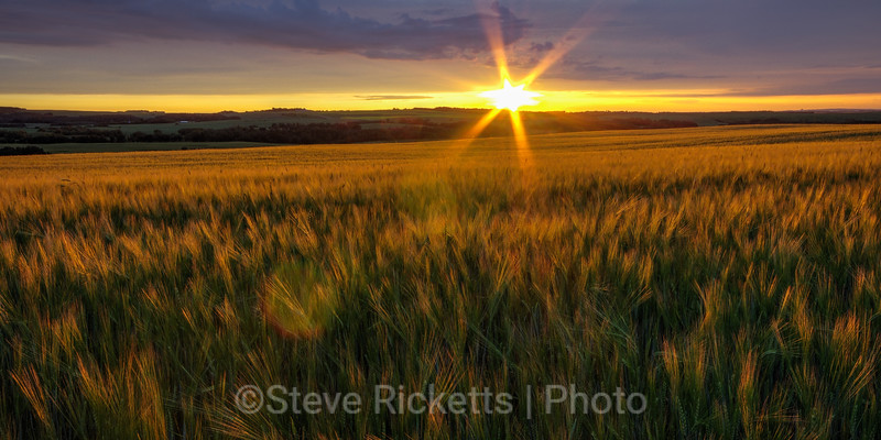 Sun-kissed barley