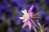 A closeup of the Rocky Mountain Columbine, Aquilegia caerulea blossum in the mountains of Banff National Park, Alberta, Canada.