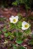 The Western Anemone wildflower in Banff National Park, Alberta, Canada.
