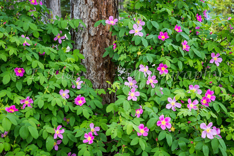 Wild roses in the mountain forests near Canmore, Alberta, Canada.