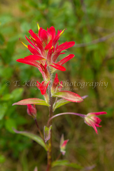 A close-up of Indian paintbrush wildflowers in Jasper National Park, Alberta, Canada.