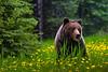 A grizzly bear in the rain in  a field of dandelions in Jasper National Park, Alberta, Canada.