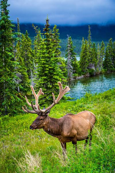 A bull elk grazing along the roadside in Jasper National Park, Alberta, Canada.