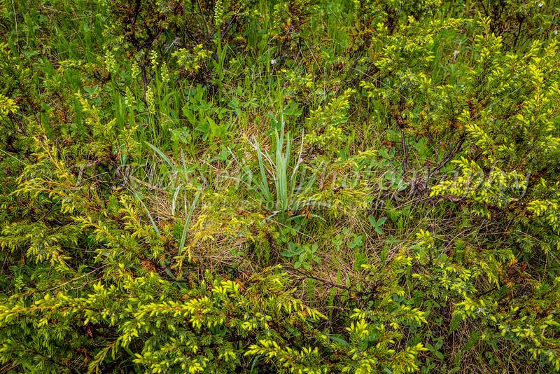 Alpine vegetation in Jasper National Park, Alberta, Canada.