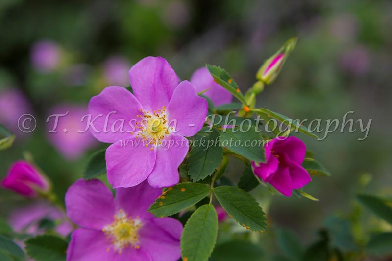 Deep pink wild roses blooming in Jasper National Park, Alberta, Canada.