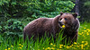 A grizzly bear in the rain eating a dandelion flower in Jasper National Park, Alberta, Canada.