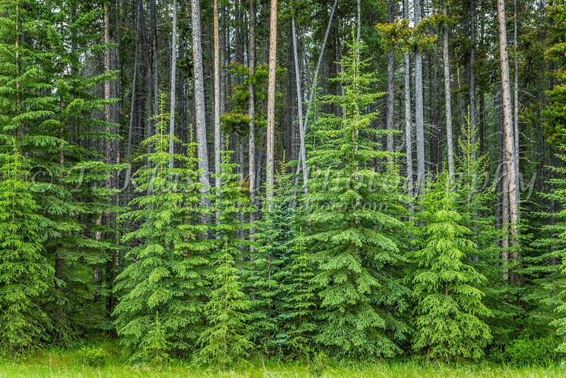 Roadside evergreen trees in Jasper National Park, Alberta, Canada.