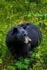A black bear foraging along the roadside in Jasper National Park, Alberta, Canada.