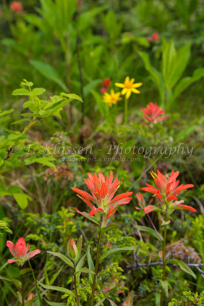 Indian paintbrush wildflowers in Jasper National Park, Alberta, Canada.