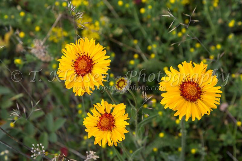 Balsamroot flowers in Waterton Lakes National Park, Alberta, Canada.