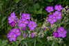 Sticky Geranium wildflowers in Waterton Lakes National Park, Alberta, Canada.