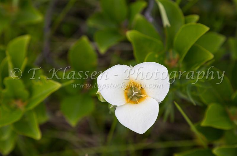 The Mariposa Lily in Waterton Lakes National Park, Alberta, Canada.