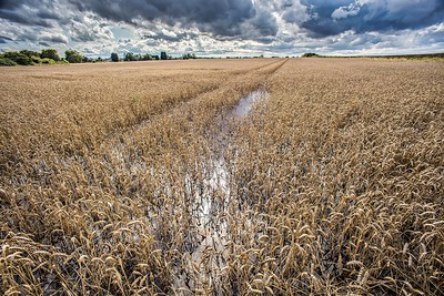 10th Aug 2014 : Fenland : Flooded Wheat Field