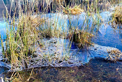 Sun 7th Jan : Reeds in Ice
