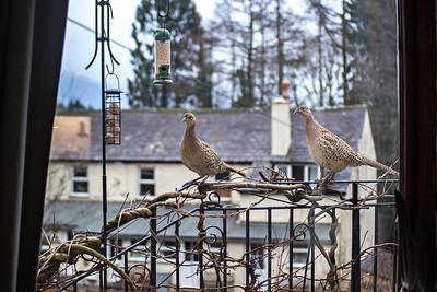 Mon 21st Jan : Pheasants on the Railing