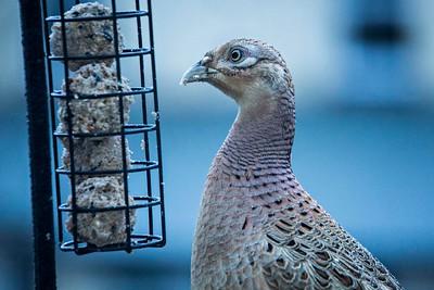 Fri 25th Jan : Hen Pheasant Feeding