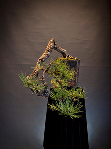 Award winning 200 year old Cascade Style Ponderosa Pine by Dean Bull. 1st Place American Bonsai Society's John Y. Naka Design Award.
