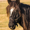 A Retired Draft Horse Living a Happy Life