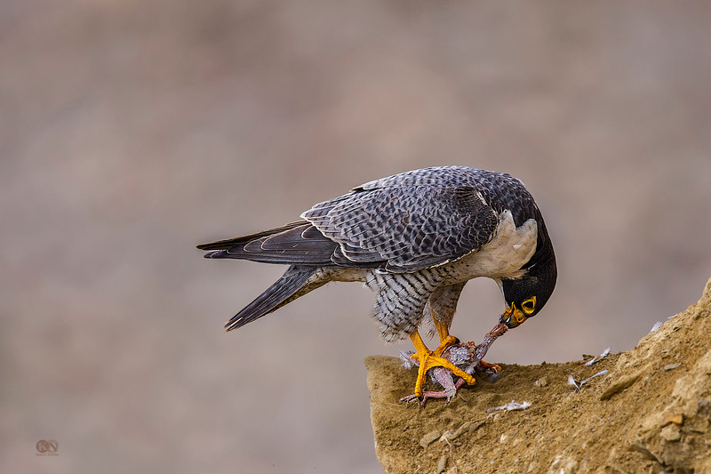 Peregrine Falcon eating Pigeon at Torrey Pines State Natural Reserve in San Diego. Taken with Canon 1DX and Canon 600mm f4L II with 1.4x III