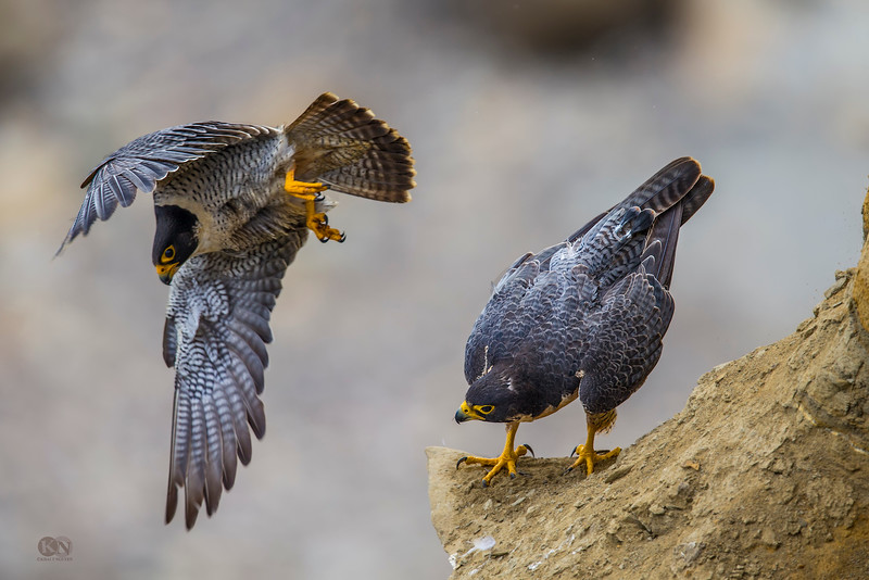 Peregrine Falcon Mating at Torrey Pines State Natural Reserve in San Diego. Taken with Canon 1DX and Canon 600mm f4L II with 1.4x III