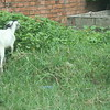 Goats Outside the Orphanage
