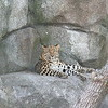 Lounging Leopard.