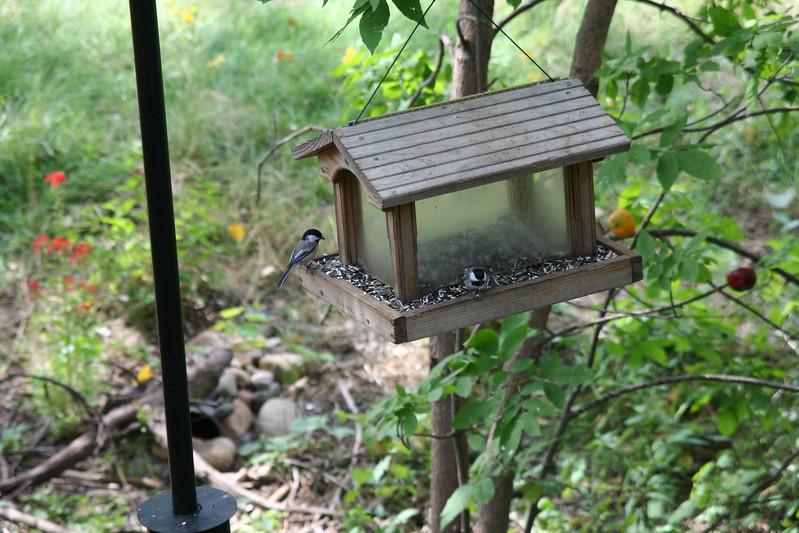 Chickadees on the feeder.