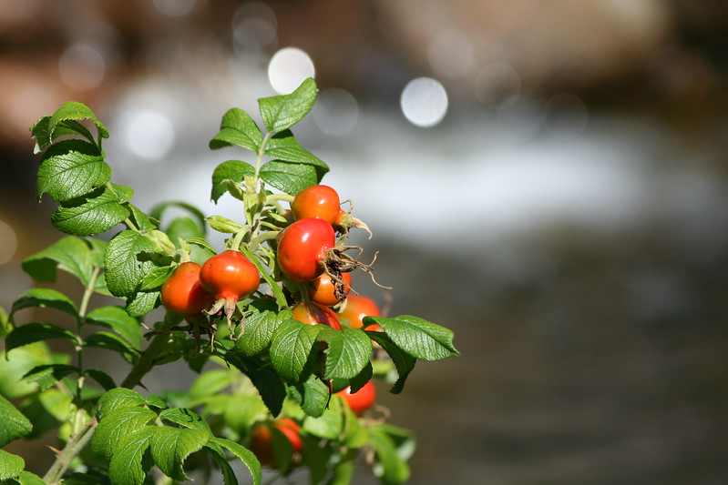 Rosehips in the sun.