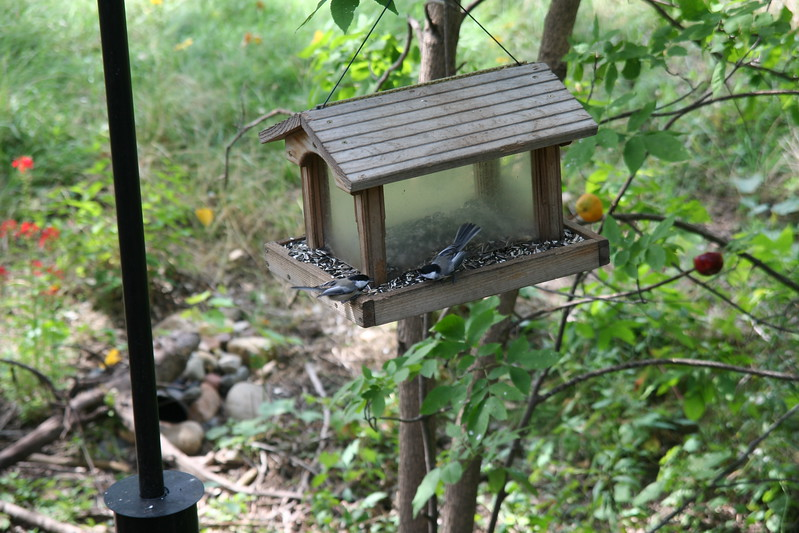 Chickadees on the feeder.