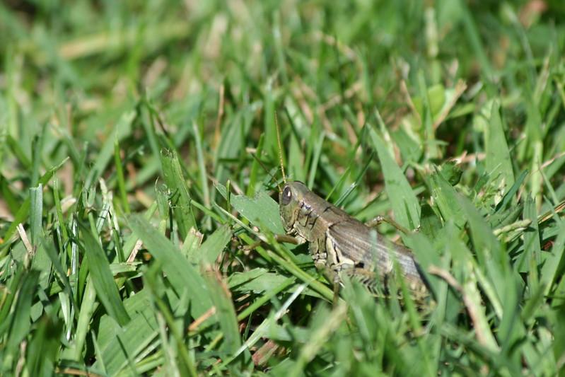 Grasshopper in wait.
