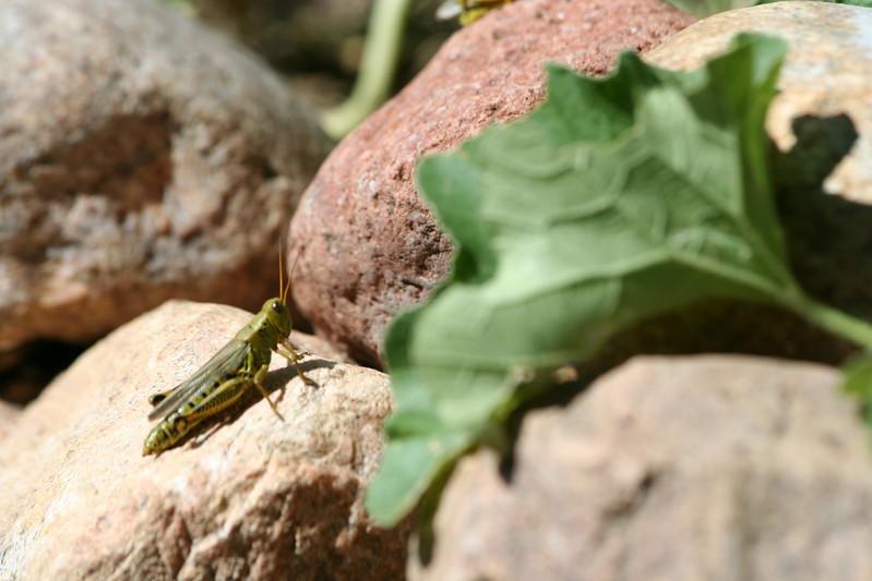 Sunning grasshopper.