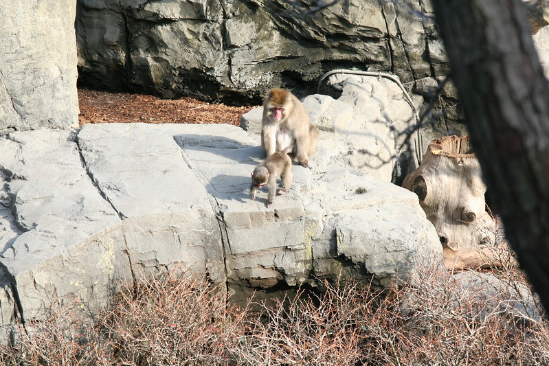 Japanese Snow Monkeys at the Central Park Zoo.  Baby and caretaker.