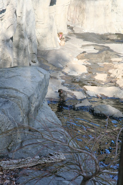 Japanese Snow Monkey's at the Central Park Zoo.  The baby getting adventuresome.