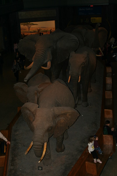 The elephants at the Natural History Museum.