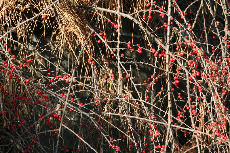 Red berries in the tree boughs.