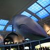 The blue whale at the American Museum of Natural History.