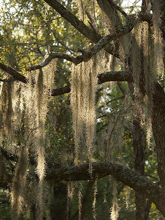 Spanish moss on oak tree.