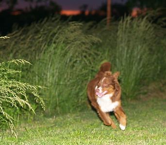 Coco having fun running in and out of the tall grass.