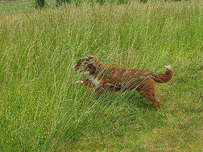 Coco jumping into the tall grass (grown for hay here), and running around in it as fast as he can!