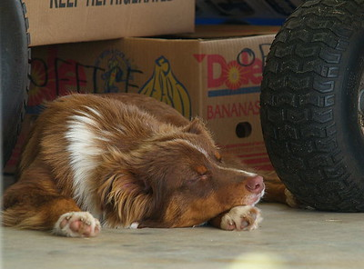 Coco seems to like sleeping on the cool carport floor.  He is 7 months old, an Australian Shepherd.