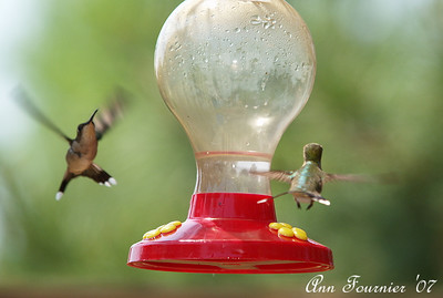 Hummingbirds at feeder.