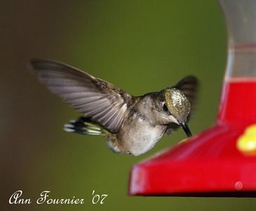 Hummingbird at the feeder.