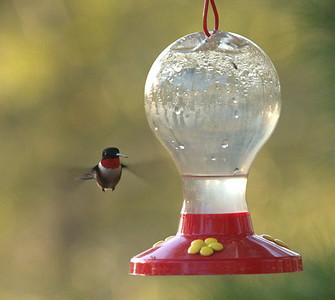 6626 - New visitor at the hummingbird feeder.