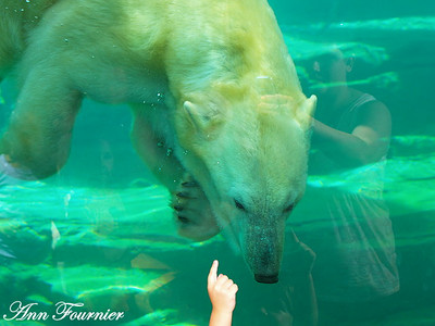 Polar Bear swimming under water.