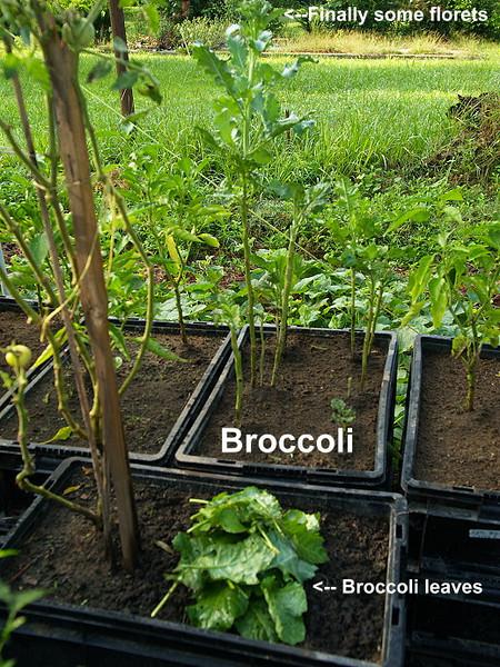 Broccoli9801